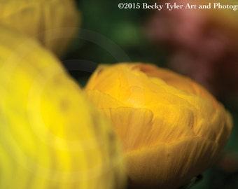 Ranunculus Fine Art Photo Print