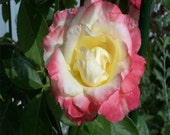 ROSE - Princess Diana Rose - Printable - 4 Sizes - Photo Art - Nature Photography