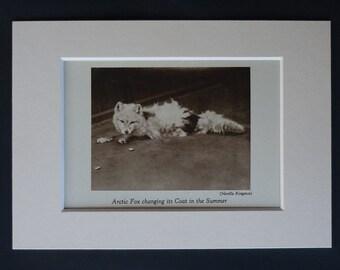 1930s Antique Arctic Fox Print, Malting Decor, Available Framed, White Fox Art, Nature Gift, Sepia Photography, Polar Fox Picture, Snow Fox