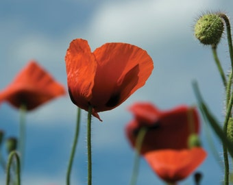 Poppies taken at Winchelsea Beach photo greetings card giclee mounted glossy print