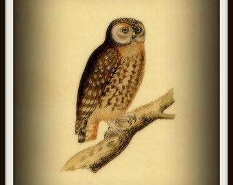 Little Owl Victorian 1800s - Print 8x10