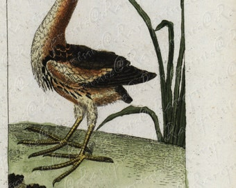 Antique Natural History Hand Colored Engraving of Ardea Minuta D manchen Very Rare - Gorgeous - Original  over 200 Years old