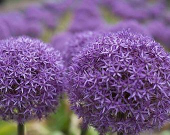 Photo Print - Purple Allium Flowers