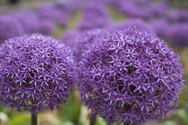 Print Purple Allium Flowers