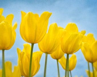 Spring Yellow Tulip Grouping with blue sky