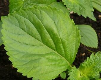 Shiso, Green Perilla herb seeds