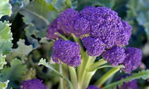 Purple Sprouting Broccoli Heirloom Seeds