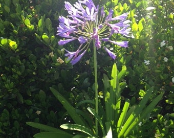 Agapanthus (Lily of the Nile) SEEDS-organically grown in Haiku, Maui-perfect care free landscape plant-lovely cut flowers, easy to grow