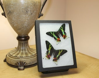 Amazing Sunset Moth Riker Mount Display