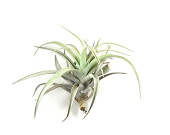 5 Pack - Large Air Plants - Harrisii Air Plants - BIG 5 to 7 Inch Plants - Fast FREE Shipping - 30 Day Guarantee - Air Plants for Sale