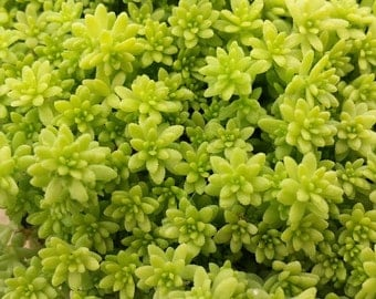 Succulent Plant Sedum Gold Moss. Bright and beautiful cover plant.