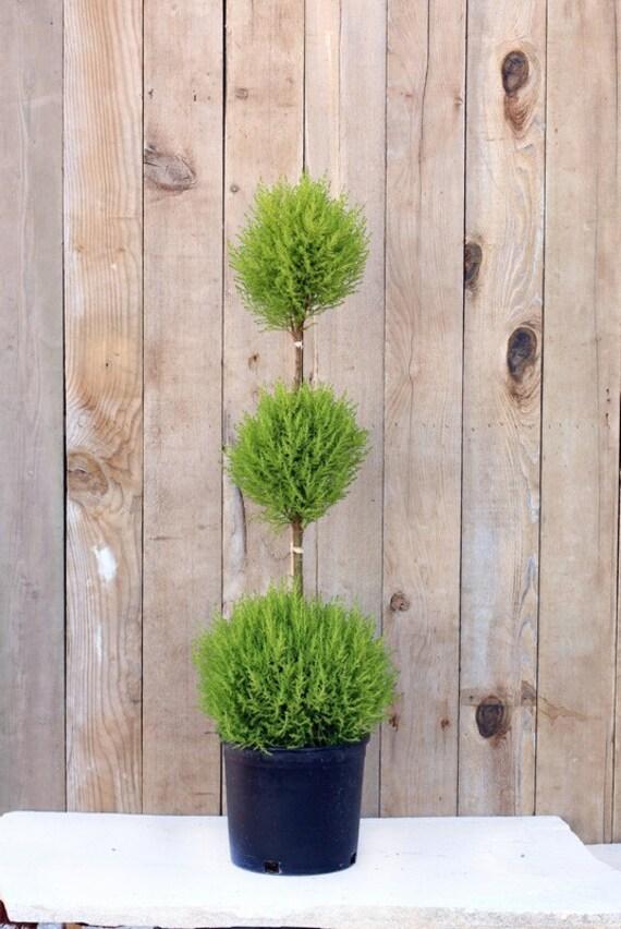 Garden Bush: 10 Lemon Cypress Triple Ball On Stem Topiary By