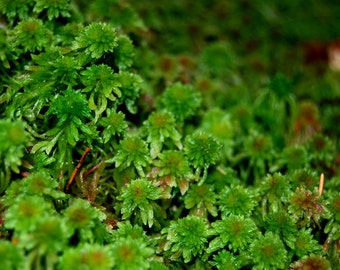 Live Sphagnum moss, for a terrarium, vivarium or frogs. For fairy garden or miniature garden. orchids, decor, interior,