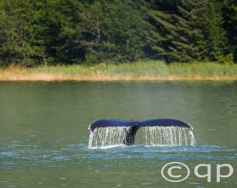 Humpback Whale Tail Water