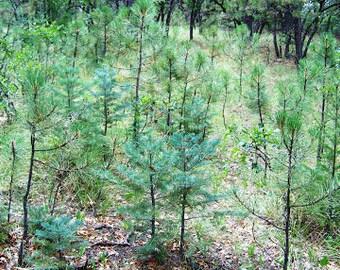 "3 Woodland Pine baby/starter/seedling tree Wild Assorted varieties 8""-18"" 2-3yr"