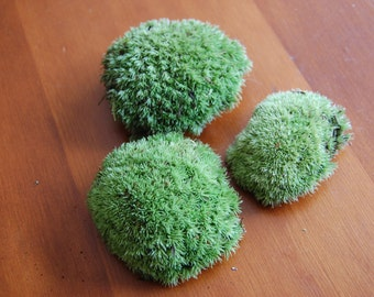 Live Cushion Moss (For Terrariums, Fairy Gardens)