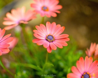 Pink Daisies In Spring