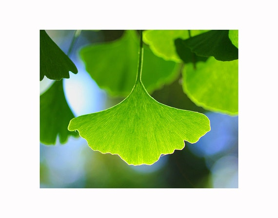 Botanical photography art print, backlit ginkgo tree leaves photo, plant photography, macro photography, spiritual photo art, home decor