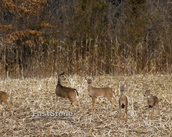 Deer, animals, photo, print, picture, art, photography, home decor, wall art, nature photography, free shipping