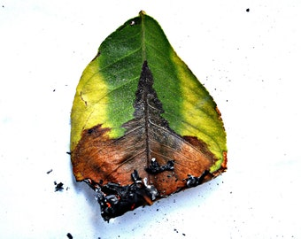 Burning Leaf - Photography print