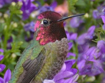 Greeting Card - Male Anna's Hummingbird