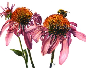 "Purple Coneflower - Echinacea purpurea, 14x16"" matted fine art botanical watercolor print"