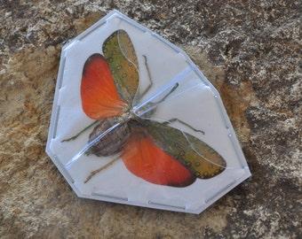 OVERSTOCK: Real Lanternfly, Saiva cardinalis