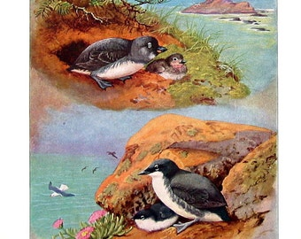 Bird Print - Xantus's Murrelet, Cassin's Auklet - 1932 Book Page from Vintage Bird Book -10 x 7