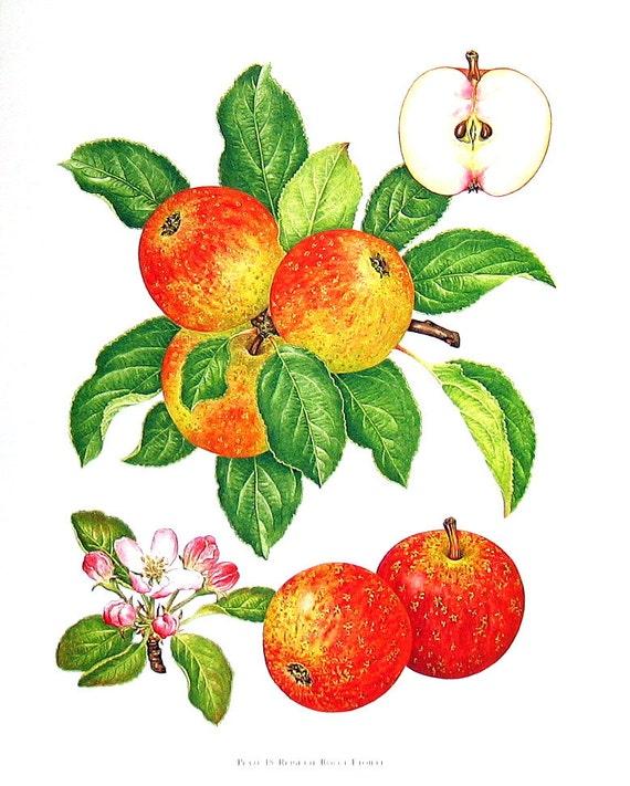 Apple Print Reinette Rouge Etoilee Apples Kitchen Decor