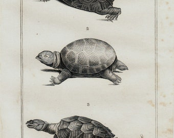 Antique print 1832 Antique turtle engraving, Original antique print