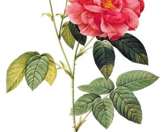 Rosa Gallica Officinalis - Cross stitch pattern pdf format