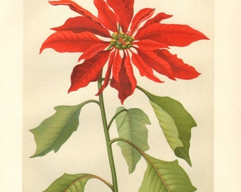 1913 Poinsettia or Noche Buena - Euphorbia pulcherrima Antique Chromolithograph