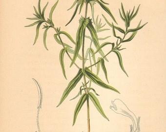 1884 Crested Cow-wheat, Melampyrum cristatum Antique Lithograph