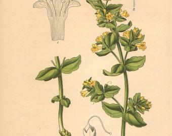 1884 Alpine Flowers, Tozzia Alpina Antique Lithograph