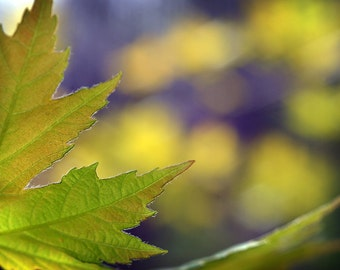Green Leaf Photograph, Green & Yellow Photography, Spring Maple Leaf Photog Print Home Decor Wall Art, Fine Art Nature Photography