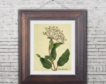printable wall art, digital botanical print, botanical illustration, Common Laurustinus, botanical artwork, printable botanical flower, 8x10