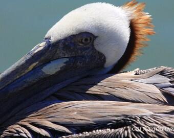 Pelican, Florida, nature photography, wildlife, home decor, wall art,