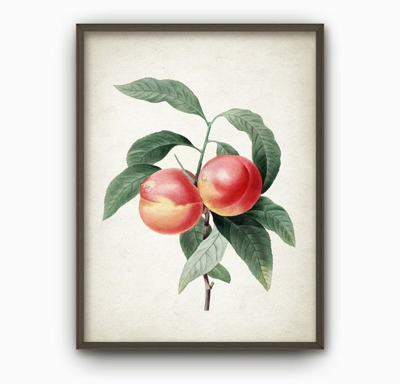 Vintage Fruit Wall Decor : Peach fruit kitchen wall art poster vintage decor