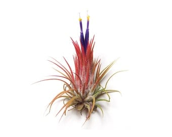 5 Pack - Air Plant - Ionantha Guatemala - Set of 5 - Fast FREE Shipping - 30 Day Guarantee - Air Plants for Sale