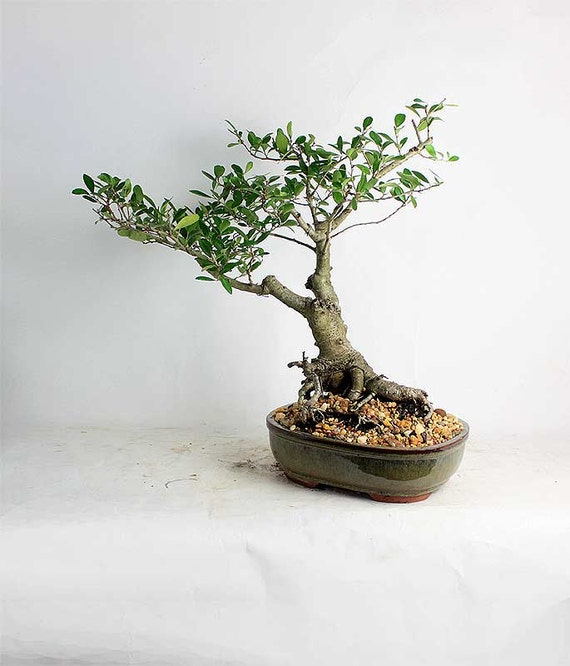 Yaupon holly bonsai tree summer holly collection by for Holly tree bonsai