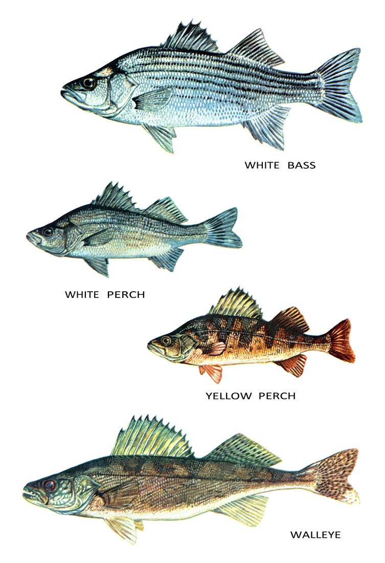 Fish Classification Poster Freshwater Fish White Bass White