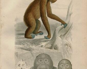 Orangutan 1800s Hand Colored Engraving Original Rare Antique Print,  Drawing by Travies,  Engraved by Paquien,  Natural History  Buffon