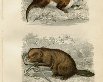 Antique Zoology Print Rodents, Coypu and Beaver, Hand Colored Engraving Gobin  Paquien,  Natural History  Buffon
