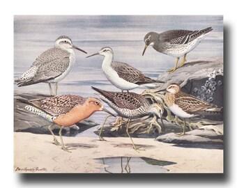 """Sandpiper Art Print, 1930s Ocean Wall Art, Vintage Bird Print --- """"Stilt Sandpiper, Purple Sandpiper, American Knot"""" No. 26"""