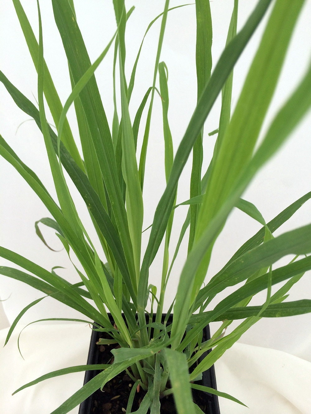 Lemon Grass Herb Plant Cymbopogon Also Repels Mosquitoes