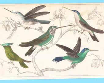 Antique Humming birds illustration (XXVI)