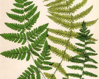 Antique Fern Print 1908 Heath Botanical Chromolithograph PRICKLY-TOOTHED BUCKLER Fern etc.