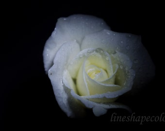 White rose with water droplets - Nature photography print