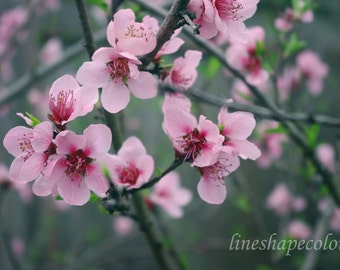 Pink cherry blossoms with green leaves - Nature photography print