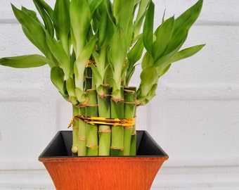 """2 Tier Lucky Bamboo - 6"""" & 4"""" Lucky Bamboos in 2 Tiers - Feng Shui- With 5"""" Vase Color Coconut  (FREE SHIPPING)"""